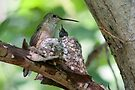 Hungry Hummer by Eivor Kuchta