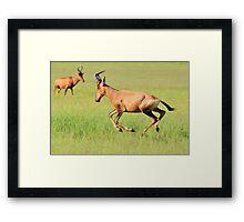 Red Hartebeest - Running Colors - African Wildlife Framed Print