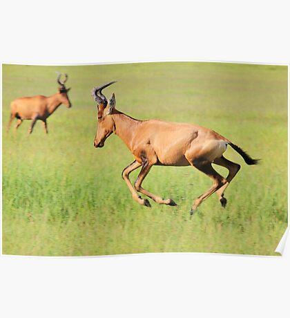 Red Hartebeest - Running Colors - African Wildlife Poster