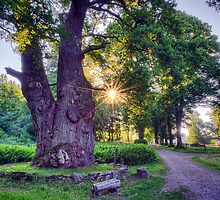 Thousand Year Old Oak in the Morning Sun. by eXparte-se