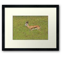 Springbok - Freedom of Color - African Wildlife Background  Framed Print