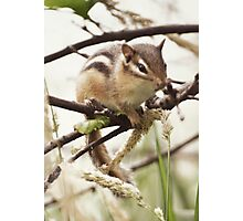Chipmunk... Photographic Print