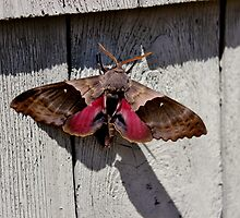 The Moth Series V by Kathleen Daley