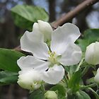 Apple Blossom Beauty by MaeBelle