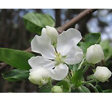 Apple Blossom Beauty Photographic Print