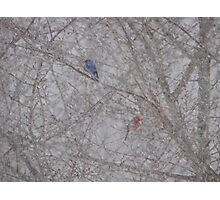 Bluebird and Cardinal in a snow storm Photographic Print