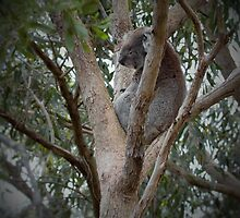 Content koala by BBCsImagery