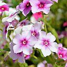 Pink Phlox by ©Dawne M. Dunton