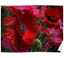 All About The Reds ~ Poppies ~ Poster