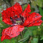 Speckled Poppy by RedHillDigital