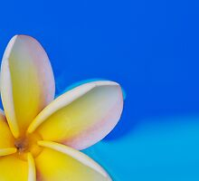 Floating Plumeria Petals by Angelina Hills