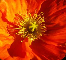 Orange Poppy by Marilyn Harris
