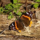 Red Admiral Butterfly by AriasPhotos