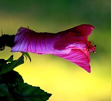 """Unfold little hibiscus and say """"good morning"""" by myraj"""