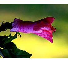 """Unfold little hibiscus and say """"good morning"""" Photographic Print"""