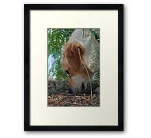 Bouncer the labrador Framed Print