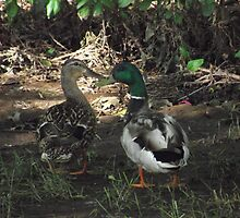 Young Ducks in Love by TScottAdams