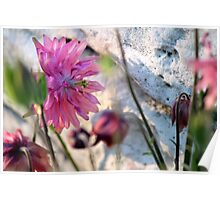 'Clementine Rose' Columbine on Last Day of Spring Poster