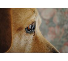 Staying Focused On A Goal- Bouncer The Labrador Photographic Print