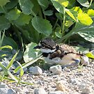 Killdeer Chick By Roadside by Deb Fedeler
