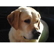 Bouncer The Labrador Puppy  Photographic Print