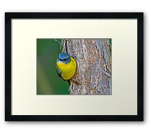 Eastern Yellow Robin Framed Print