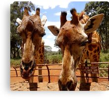 Giraffes over the fence Canvas Print