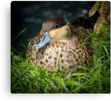 Blue Billed Duck Canvas Print