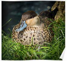 Blue Billed Duck Poster
