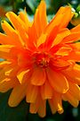 Orange Dahlia #1 by Deborah McGrath