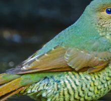 Juvenile Satin Bower Bird Sticker