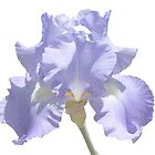 Chambray Elegance ~ This Iris by SummerJade