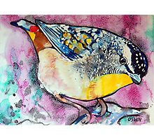 Spotted Pardalote Photographic Print