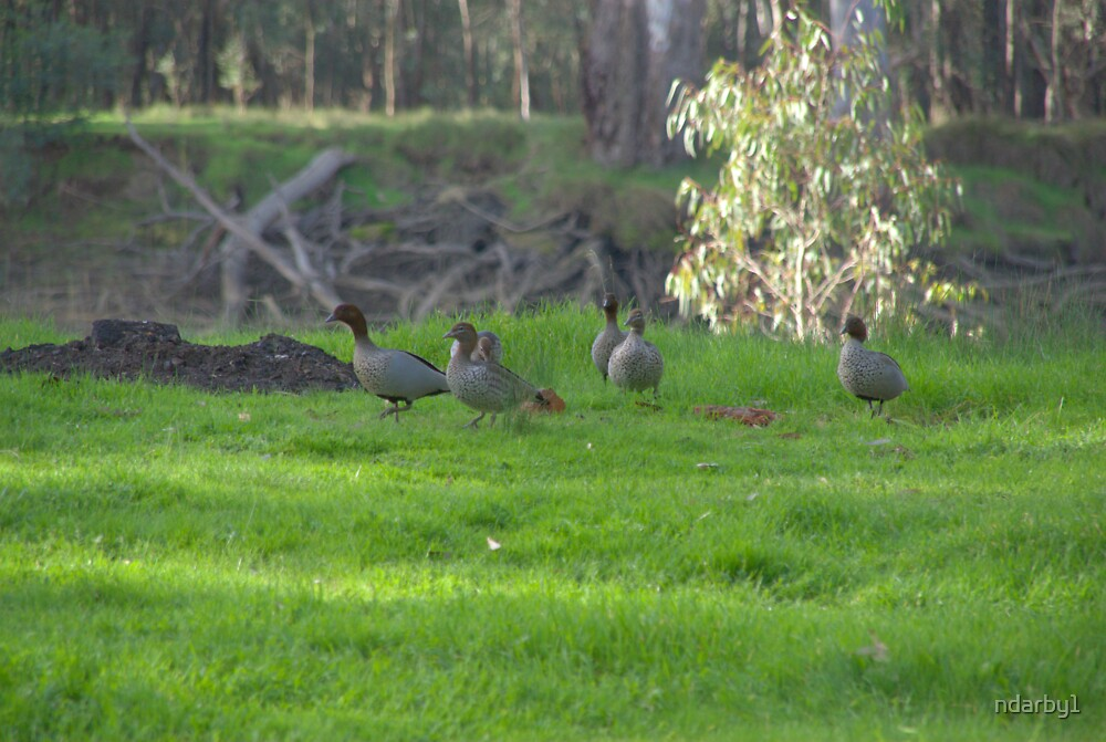 Ducks by the river by ndarby1