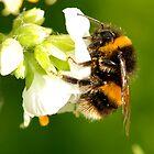 Bee In Peebles Garden by rosie320d