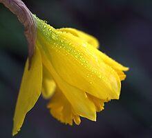 Daffodil Rain by Joy Watson