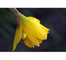 Daffodil Rain Photographic Print