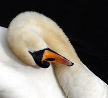 The Swan by Fraser Musson