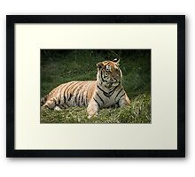 Tiger lazing but very alert Framed Print