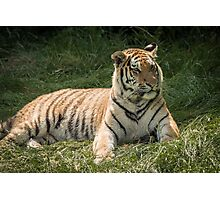 Tiger lazing but very alert Photographic Print