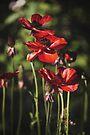 ~ field of poppies ~ by Adriana Glackin
