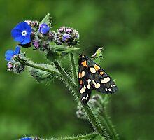 Scarlet Tiger Moth - Callimorpha Dominula by Susie Peek