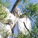 wood stork juvi by Dennis Cheeseman