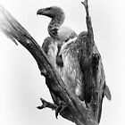 Cape Vulture by Karine Radcliffe