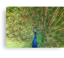 A very proud peahen Canvas Print