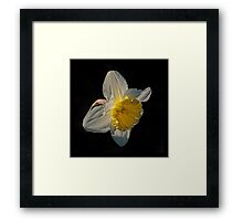 Sunlight Daffodil Framed Print