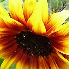 'Solar Flash' sunflower by Sue Gurney