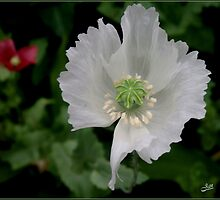 Garden Poppy White by Janone