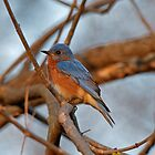 Eastern Bluebird in the Branches by AriasPhotos