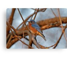 Eastern Bluebird in the Branches Canvas Print
